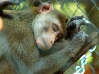 Macaque_Featured